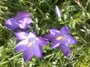 lente krokussen