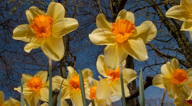 De Mooiste Narcissen In Je Tuin Zenspiratie