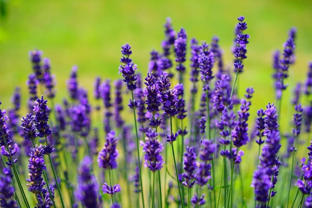 Lavendel: jaar na jaar een mooie border