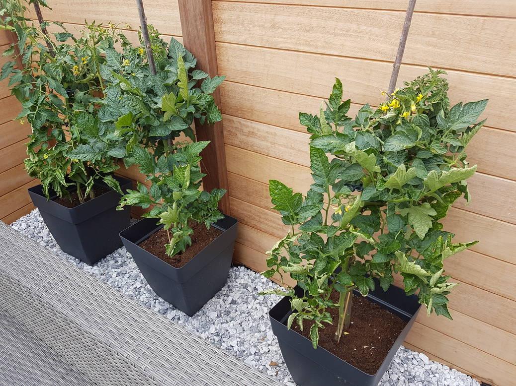 Kweek tomaten in een pot