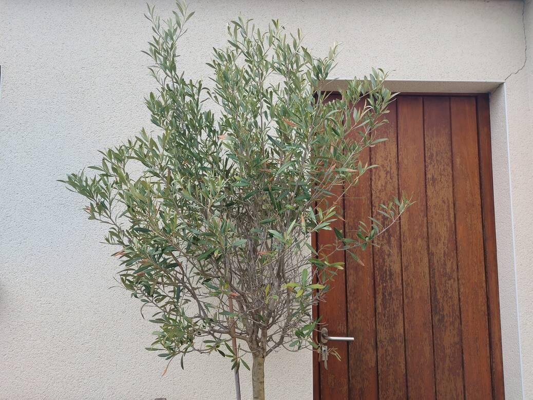 Hoe een olijfboom snoeien?